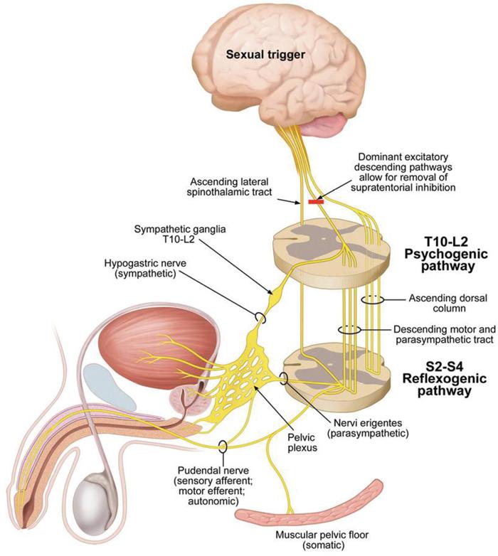 metode de tratare a erecției rapide erecție slabă la 46